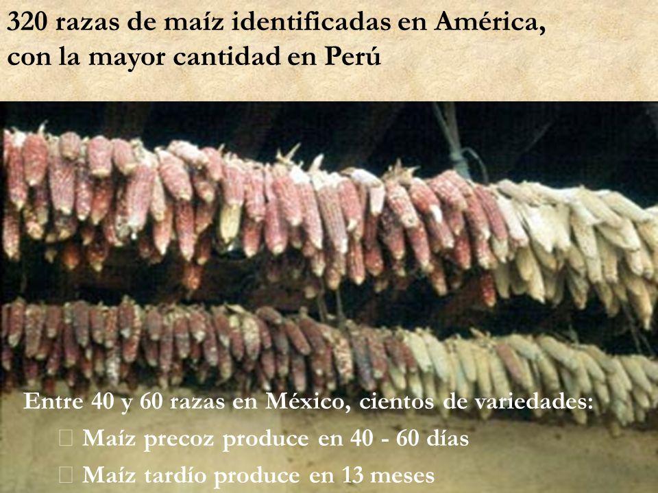 Entre 40 y 60 razas en México, cientos de variedades:  Maíz precoz produce en 40 - 60 días  Maíz tardío produce en 13 meses 320 razas de maíz identi