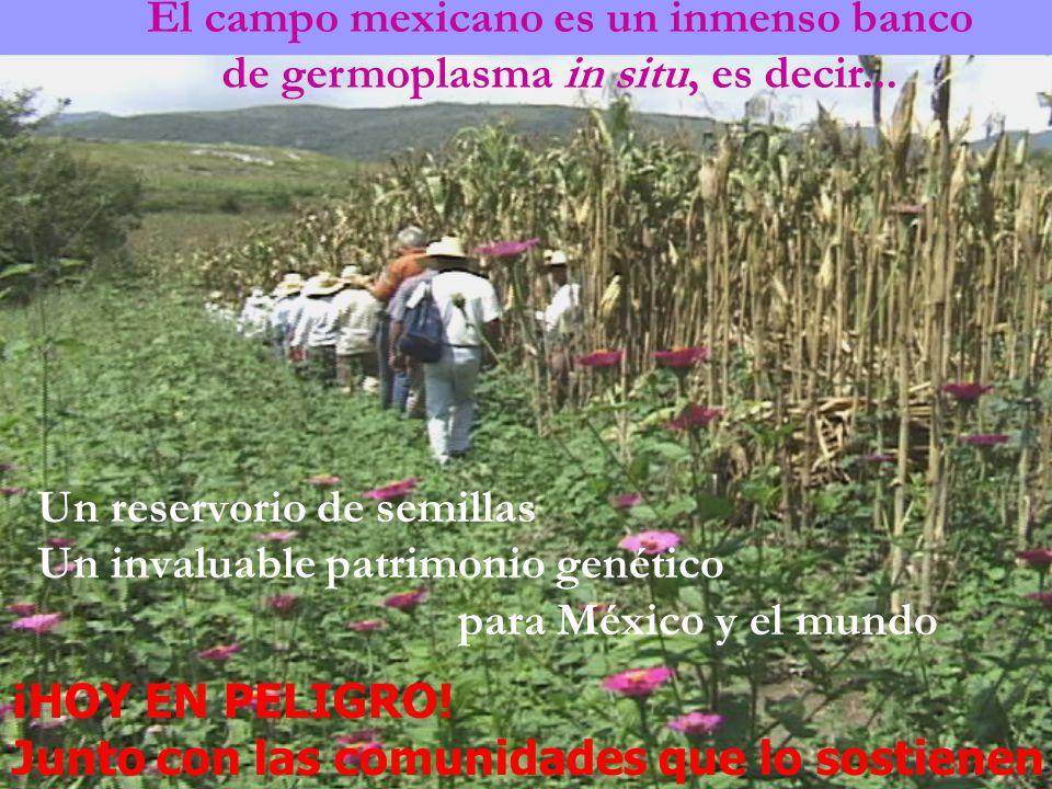 El campo mexicano es un inmenso banco de germoplasma in situ, es decir... Un reservorio de semillas Un invaluable patrimonio genético para México y el