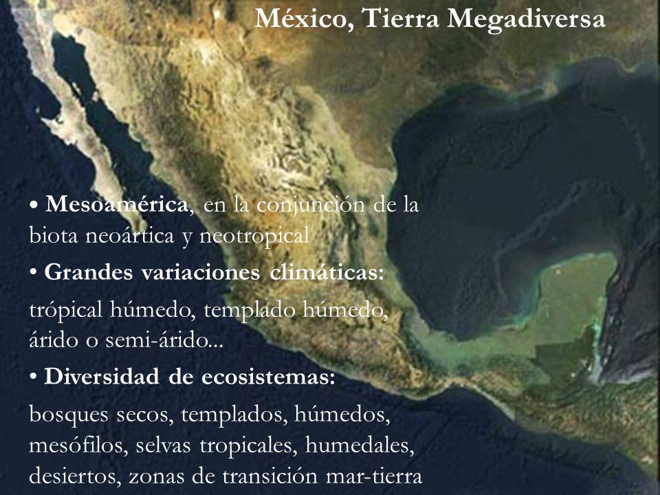 Uno de los principales centros de diversidad biológica en el mundo Entre los primeros cuatro lugares en múltiples especies vegetales y animales Grupo de los 12 Países Megadiversos México