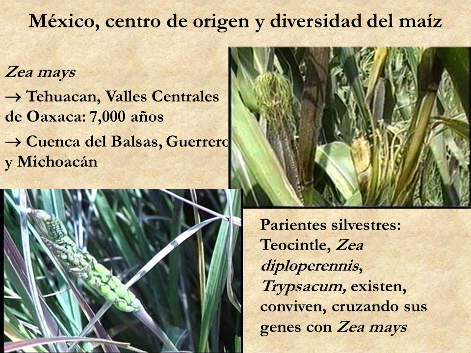 México, centro de origen y diversidad del maíz Zea mays Tehuacan, Valles Centrales de Oaxaca: 7,000 años Cuenca del Balsas, Guerrero y Michoacán Parie