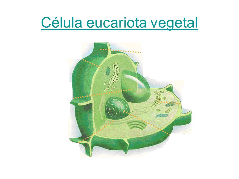 Sus organelas Membrana celular Pared celular Núcleo Retículo endoplasmatico Cloroplastos Vacuolas