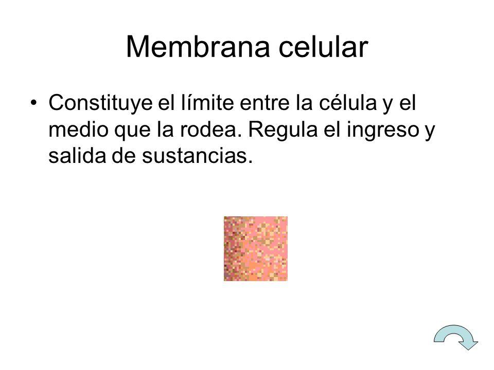 Mitocondrias Son las organelas encargadas de la respiración celular.