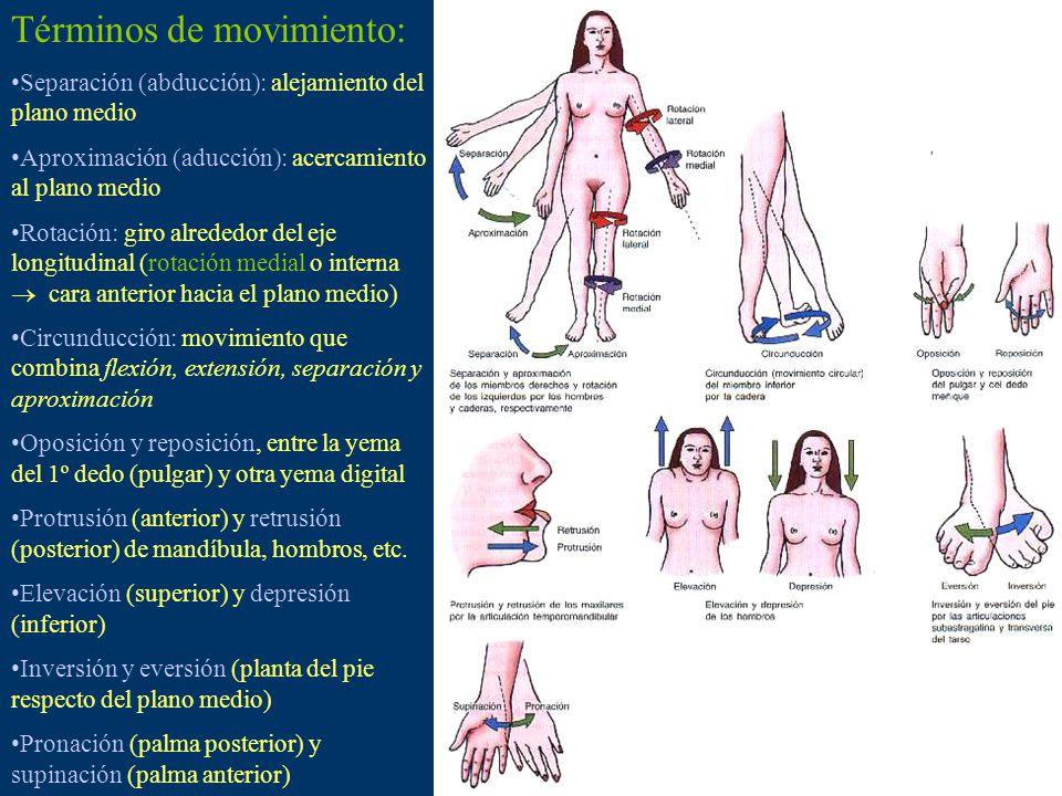 Términos de movimiento: Separación (abducción): alejamiento del plano medio Aproximación (aducción): acercamiento al plano medio Rotación: giro alrededor del eje longitudinal (rotación medial o interna cara anterior hacia el plano medio) Circunducción: movimiento que combina flexión, extensión, separación y aproximación Oposición y reposición, entre la yema del 1º dedo (pulgar) y otra yema digital Protrusión (anterior) y retrusión (posterior) de mandíbula, hombros, etc.