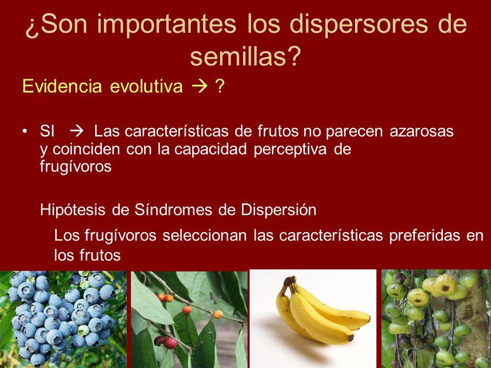 SI Las características de frutos no parecen azarosas y coinciden con la capacidad perceptiva de frugívoros Hipótesis de Síndromes de Dispersión ¿Son i