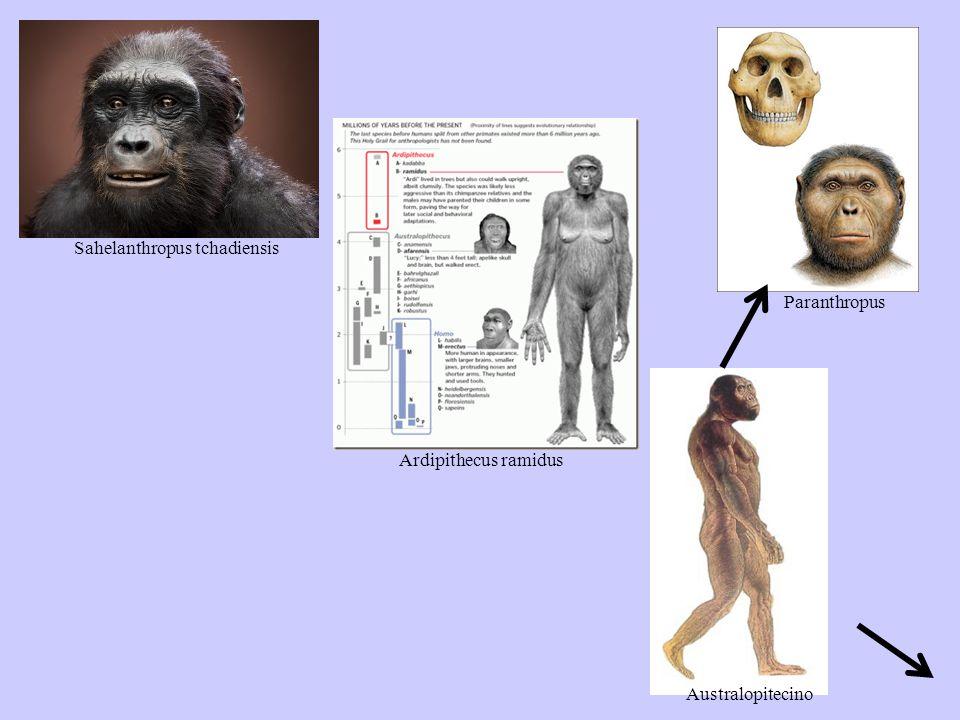Sahelanthropus tchadiensis Ardipithecus ramidus Paranthropus Australopitecino
