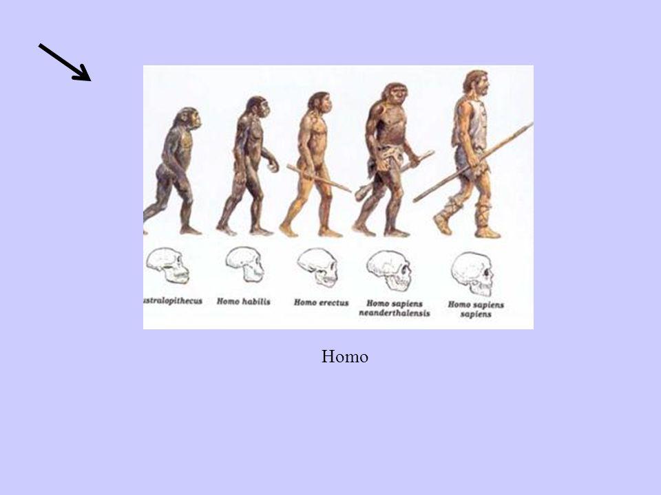 Homo erectus E.Dubois.