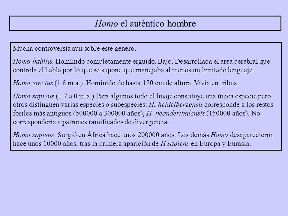 Homo el auténtico hombre Mucha controversia aún sobre este género. Homo habilis. Homínido completamente erguido. Bajo. Desarrollada el área cerebral q