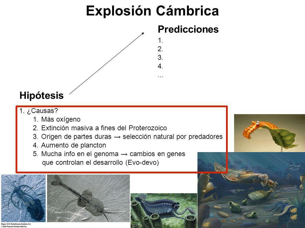 Explosión Cámbrica 1. ¿Causas? 1.Más oxígeno 2.Extinción masiva a fines del Proterozoico 3.Origen de partes duras selección natural por predadores 4.A