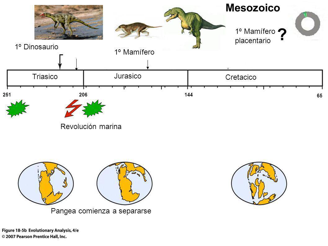 Triasico Cretacico Jurasico Mesozoico 1º Mamífero placentario 1º Mamífero Pangea comienza a separarse 1º Dinosaurio 251 65 144206 Revolución marina ?