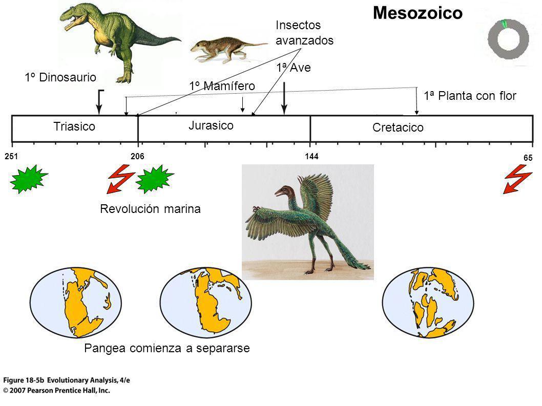 Triasico Cretacico Jurasico Mesozoico 1ª Planta con flor 1ª Ave 1º Mamífero Pangea comienza a separarse 1º Dinosaurio 251 65 144206 Revolución marina