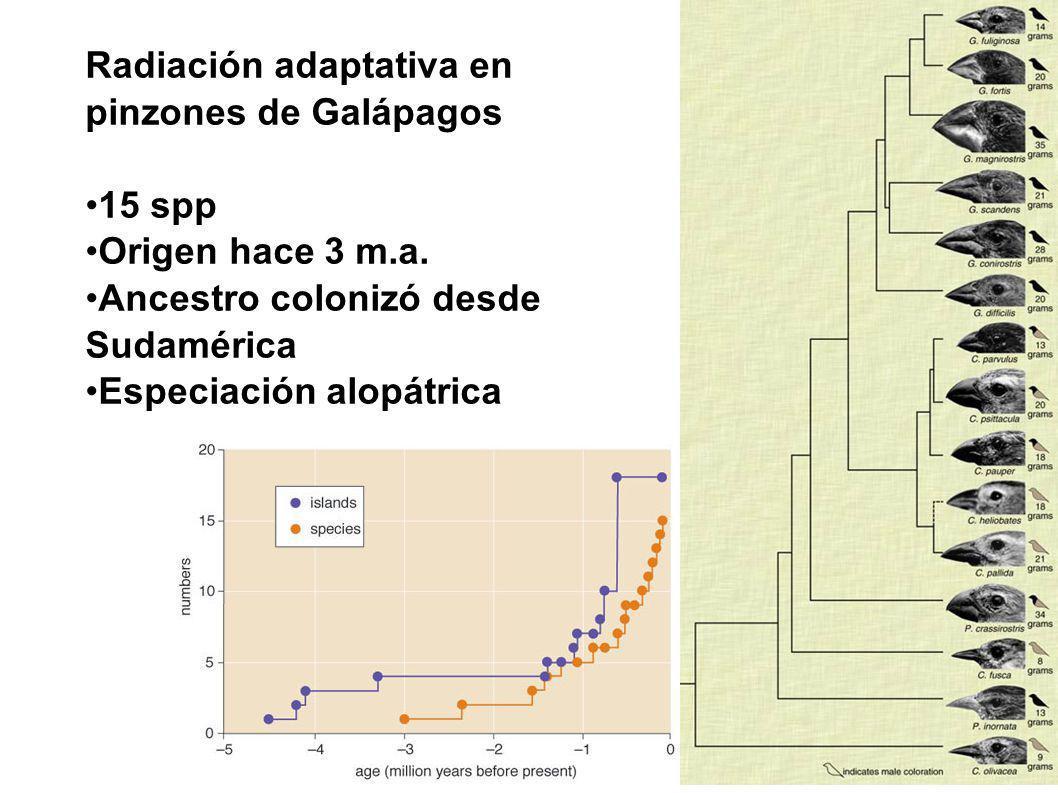 Radiación adaptativa en pinzones de Galápagos 15 spp Origen hace 3 m.a. Ancestro colonizó desde Sudamérica Especiación alopátrica