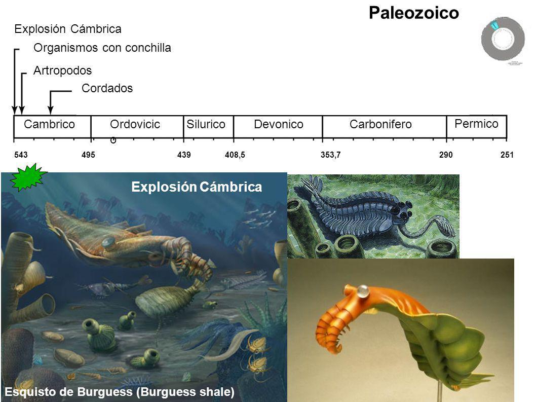 Paleozoico Explosión Cámbrica Organismos con conchilla Artropodos Cordados Formación de Gondwana CambricoOrdovicic o SiluricoDevonicoCarbonifero Permi
