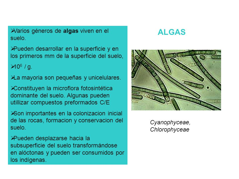 Varios géneros de algas viven en el suelo. Pueden desarrollar en la superficie y en los primeros mm de la superficie del suelo, 10 6 / g. La mayoria s