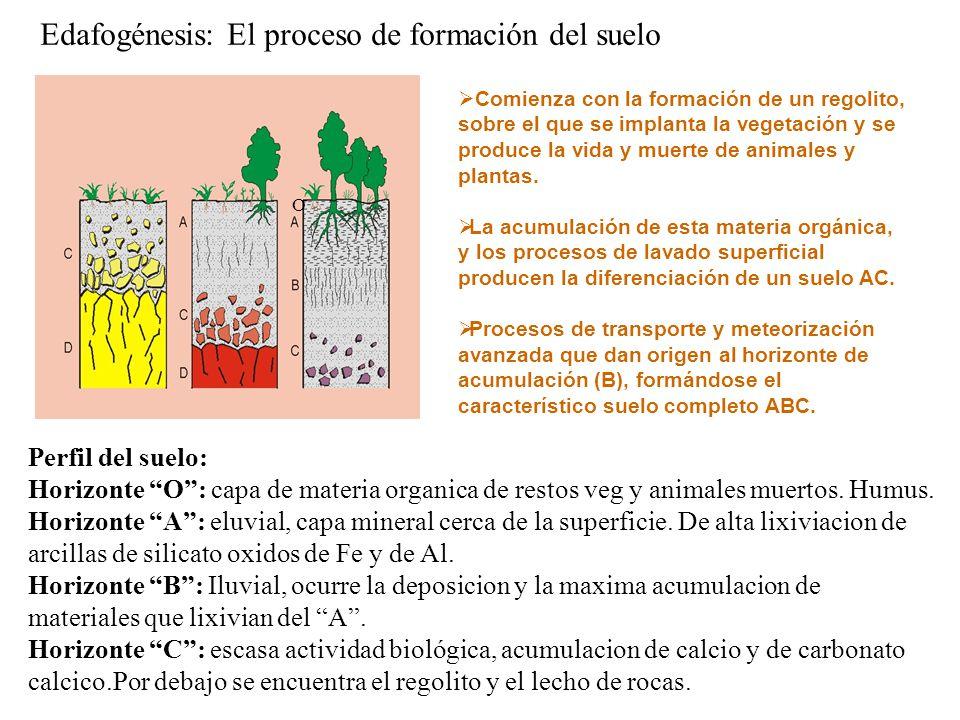 Horizonte O: capa de materia organica de restos veg y animales muertos.