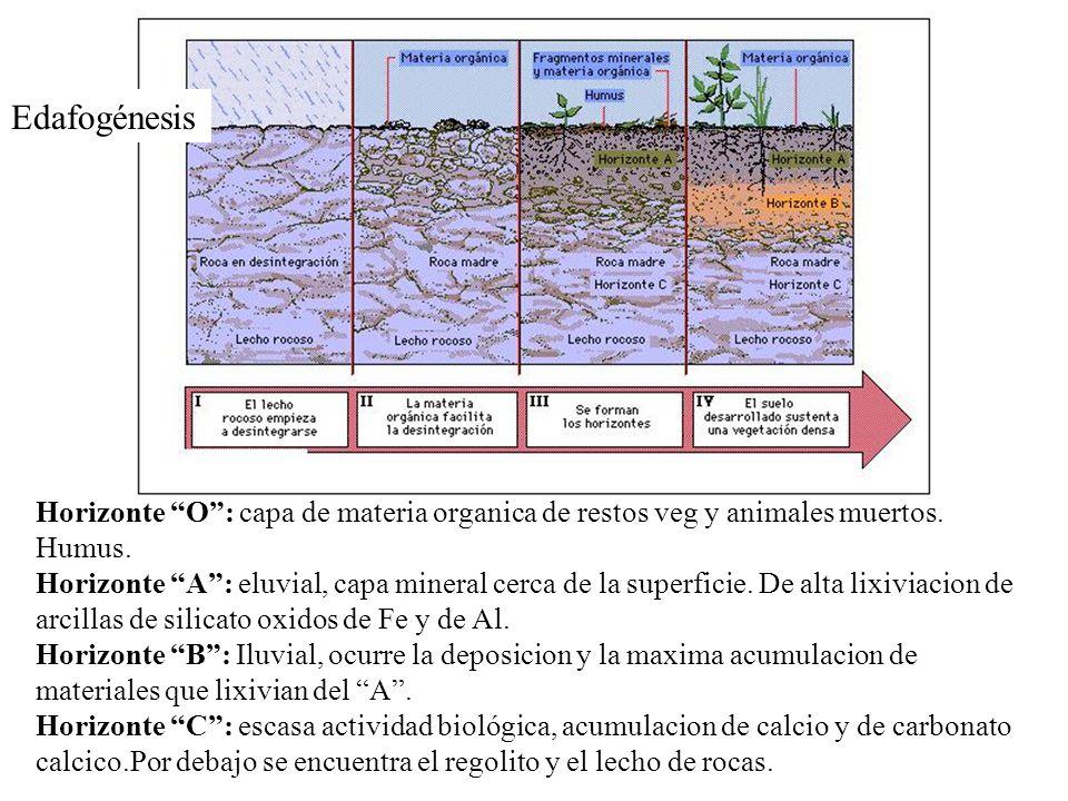 Horizonte O: capa de materia organica de restos veg y animales muertos. Humus. Horizonte A: eluvial, capa mineral cerca de la superficie. De alta lixi