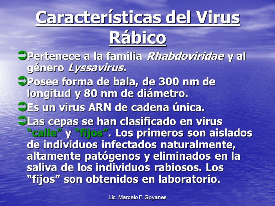 Características del Virus Rábico Pertenece a la familia Rhabdoviridae y al género Lyssavirus. Pertenece a la familia Rhabdoviridae y al género Lyssavi