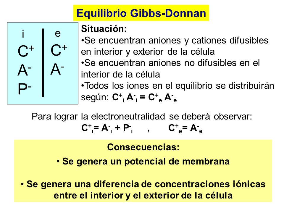 Equilibrio Gibbs-Donnan iC+A-P- iC+A-P- eC+A- eC+A- Situación: Se encuentran aniones y cationes difusibles en interior y exterior de la célula Se encu