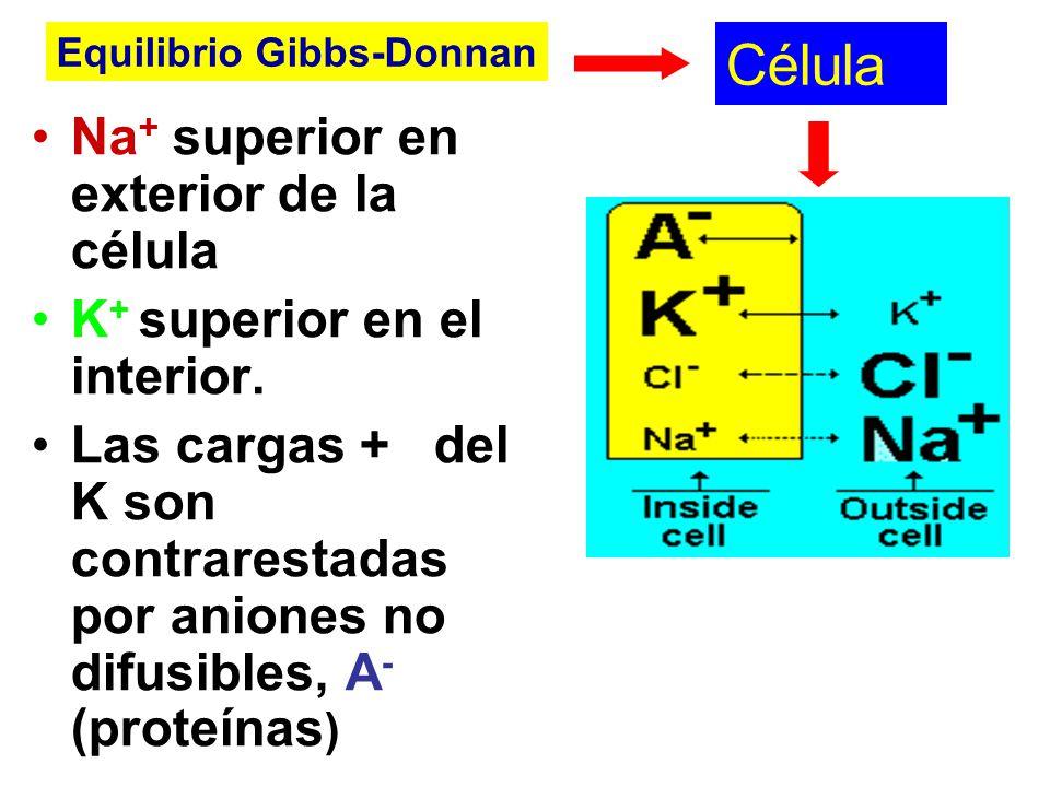 Célula Na + superior en exterior de la célula K + superior en el interior. Las cargas + del K son contrarestadas por aniones no difusibles, A - (prote