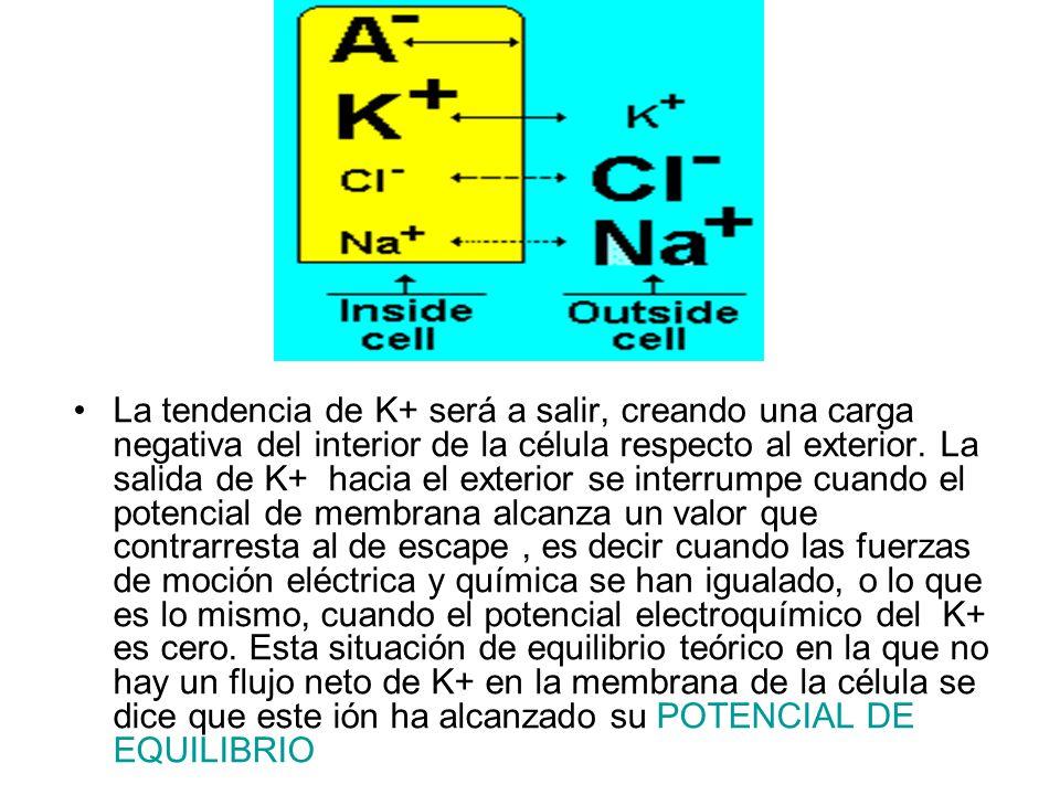 La tendencia de K+ será a salir, creando una carga negativa del interior de la célula respecto al exterior. La salida de K+ hacia el exterior se inter