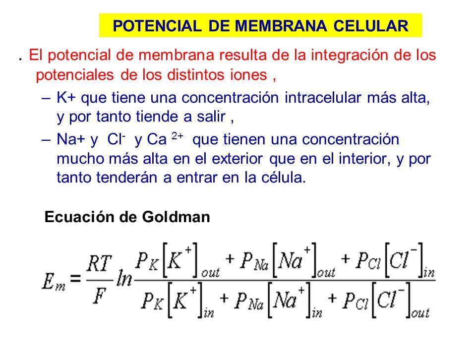 . El potencial de membrana resulta de la integración de los potenciales de los distintos iones, –K+ que tiene una concentración intracelular más alta,