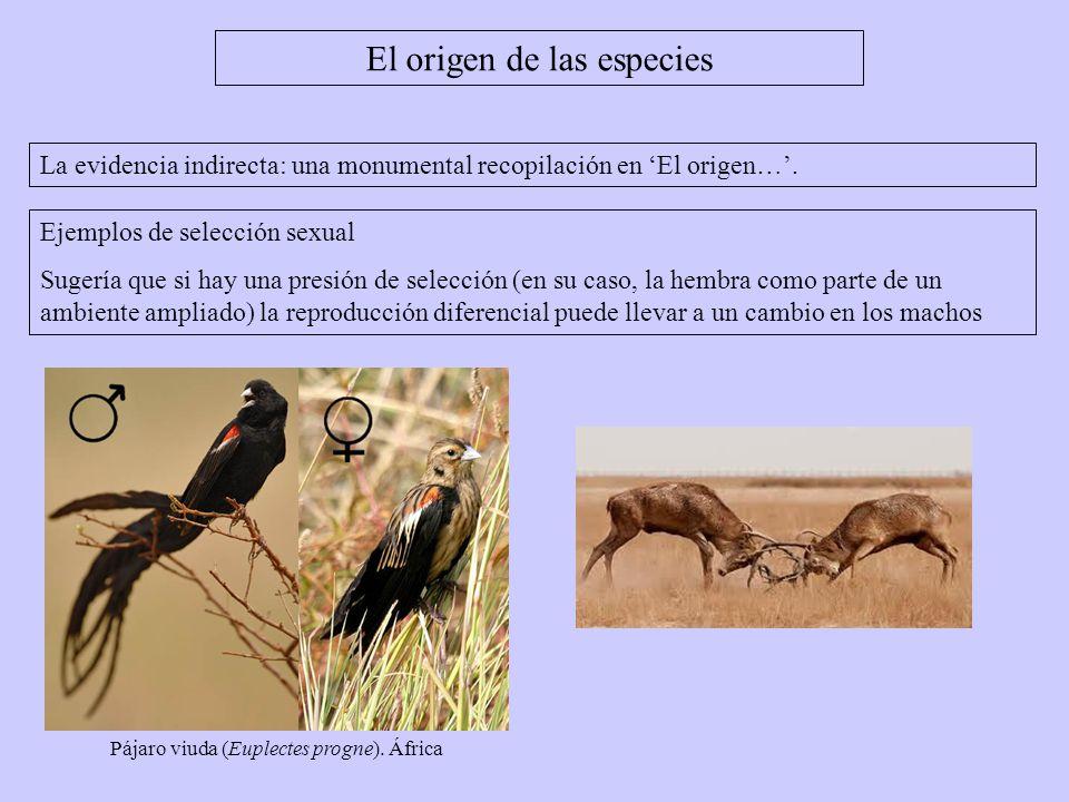 El origen de las especies La evidencia indirecta: una monumental recopilación en El origen…. Ejemplos de selección sexual Sugería que si hay una presi