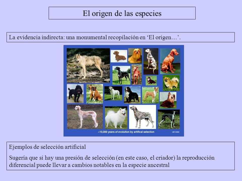 El origen de las especies La evidencia indirecta: una monumental recopilación en El origen…. Ejemplos de selección artificial Sugería que si hay una p