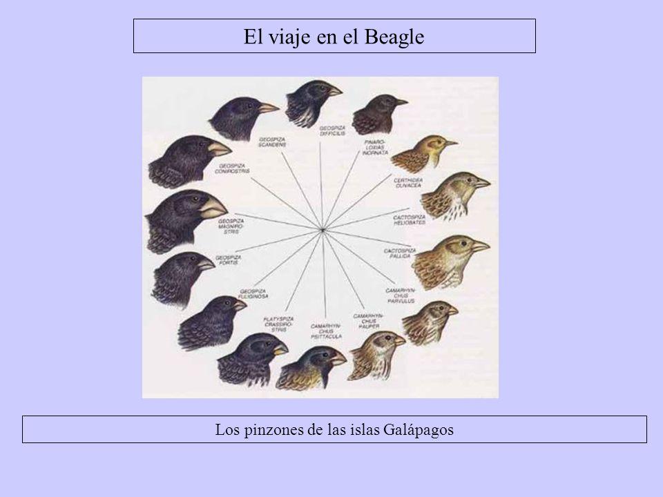 Los pinzones de las islas Galápagos El viaje en el Beagle