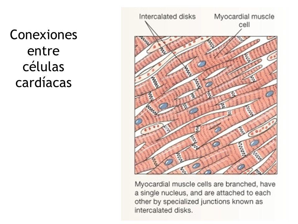 Músculo cardíaco Sarcómeros Actina/Miosina Células Mononucleadas Discos intercalares Gap junctions Muchas mitocondrias Alto aprovechamiento de O 2