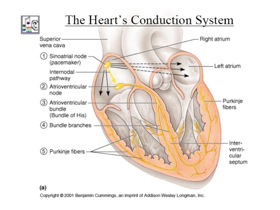 Conexiones entre células cardíacas