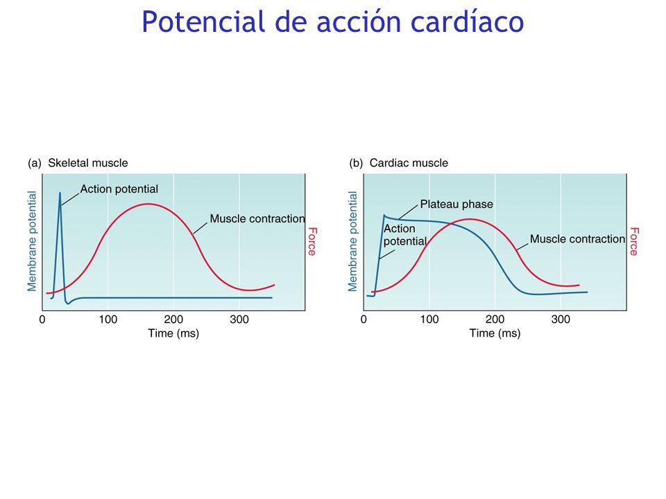 Automatismo: el corazón late automáticamente Inotropismo: el corazón se contrae bajo ciertos estímulos. El sistema nervioso simpático tiene un efecto