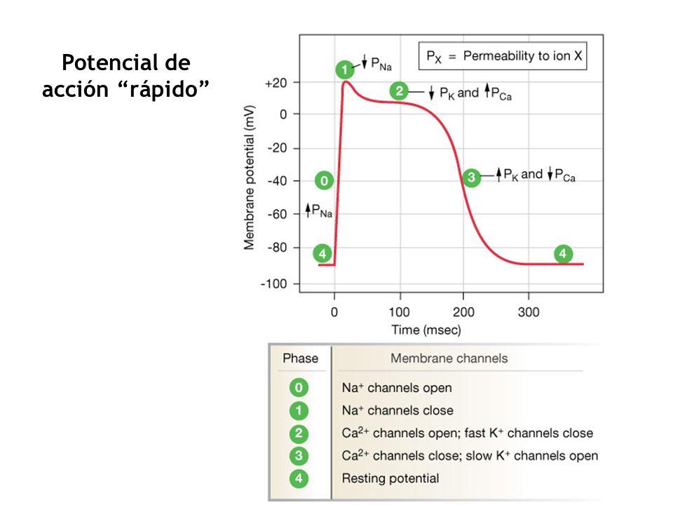 Na + K+K+ K+K+ -70 mV RESTING THRESHOLD -0 Gradually increasing P Na AUTOMATICITY