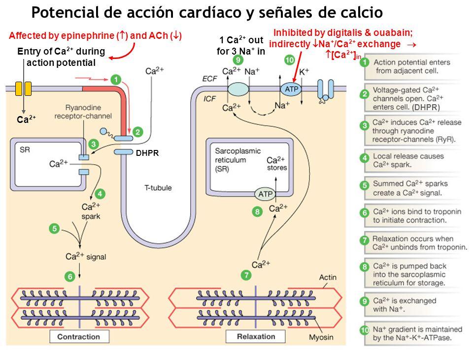 Potencial de acción cardíaco y corrientes iónicas Fast K closes Slow K opens Fast K reopens (