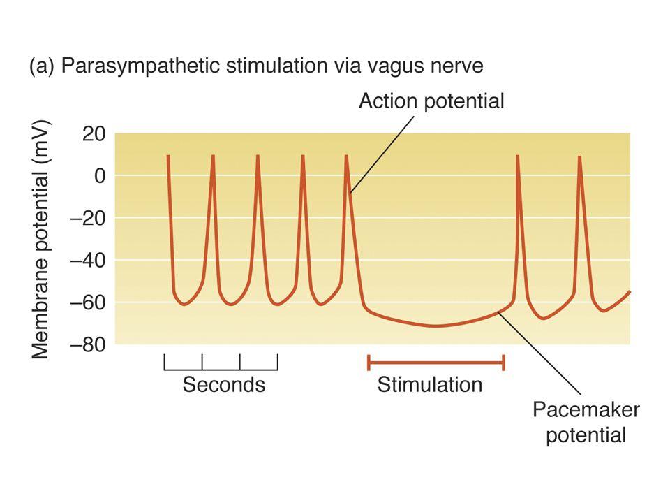 Adrenalina/NA: afectan el canal de Ca 2+ voltaje-dependiente uniéndose a un recpetor 1, activando iuna adenilato ciclasa, cAMP, fosforilando el canal