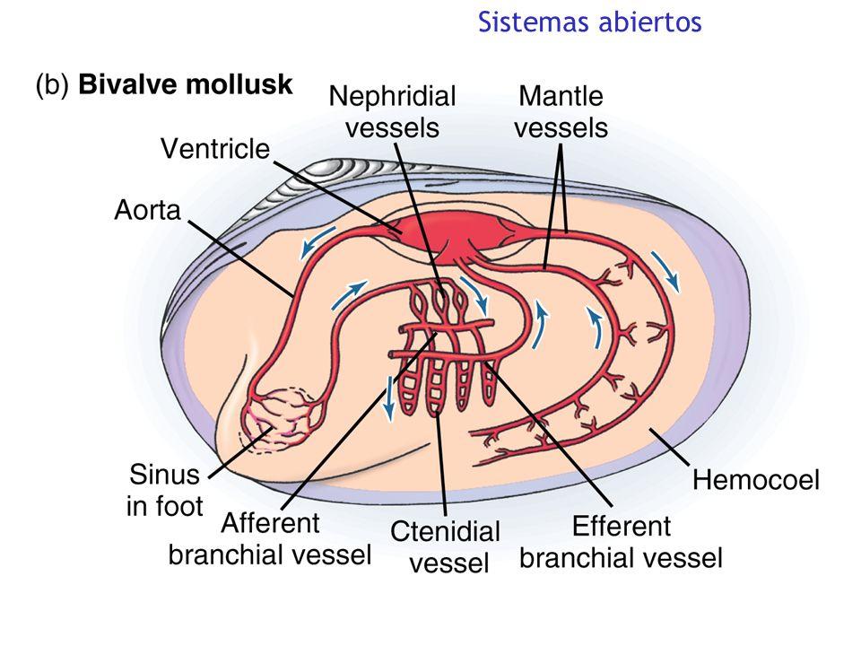 El sistema de conducción cardíaca