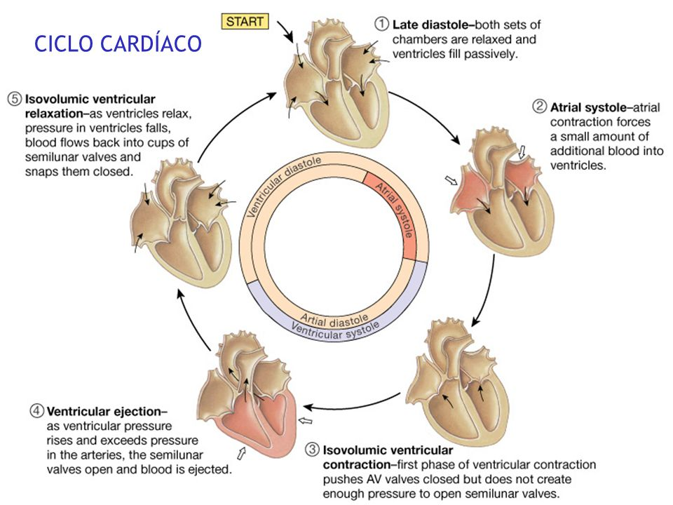 Systole contraction of ventricles (systolic P = peak pressure per heartbeat in major systemic arteries) Diastole relaxed filling of ventricles (diasto