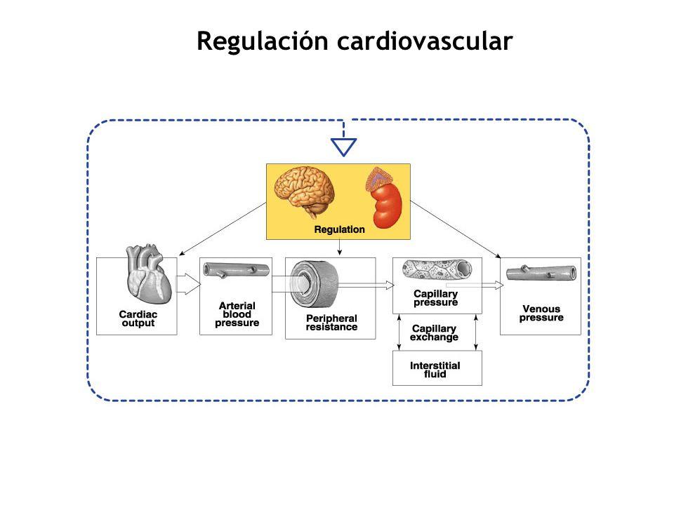 Regulación cardiovascular