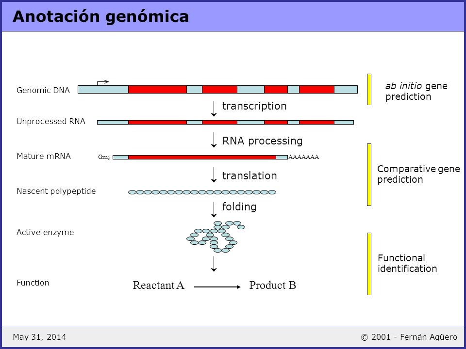 May 31, 2014© 2001 - Fernán Agüero Anotación genómica transcription RNA processing translation AAAAAAA Genomic DNA Unprocessed RNA Mature mRNA Nascent
