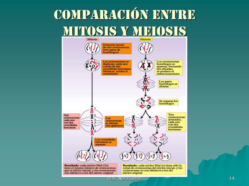 Prof. Nora Besso 14 Comparación entre mitosis y meiosis