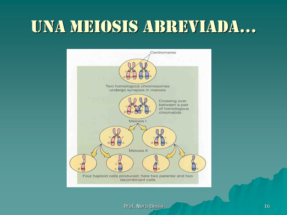 Prof. Nora Besso 16 Una meiosis abreviada…