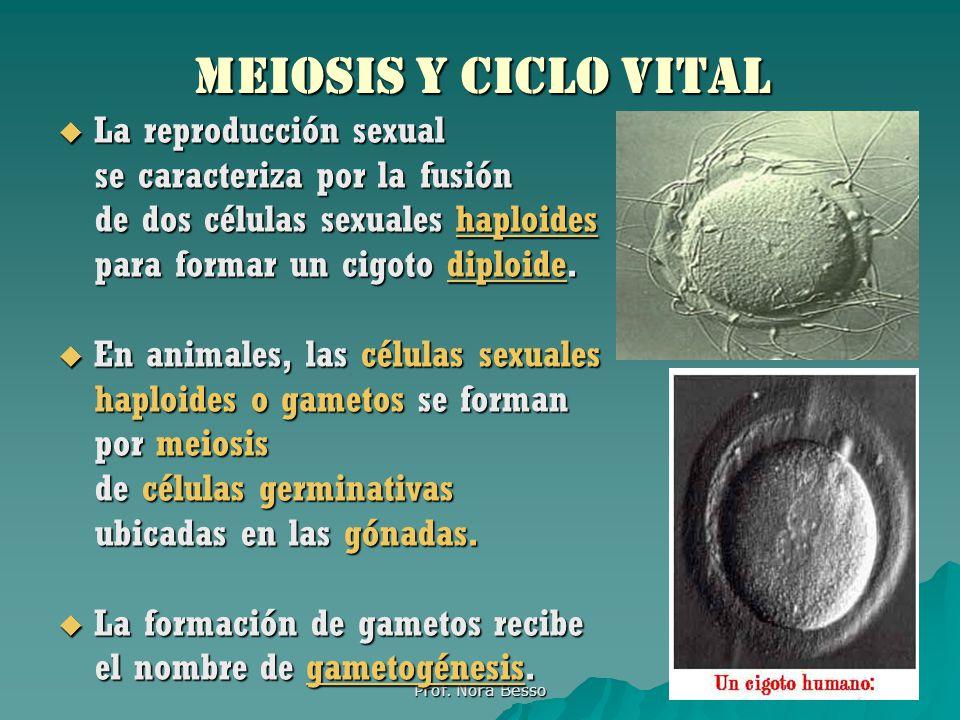 Diferencias entre mitosis y meiosis Mitosis: da origen a 2 células hijas; se lleva a cabo en una sola división; las células hijas tienen el mismo número de cromosomas que la célula madre; hace posible el crecimiento y regeneración de los tejidos; el proceso es ms corto; se presenta en la mayor parte de las células somáticas del organismo.