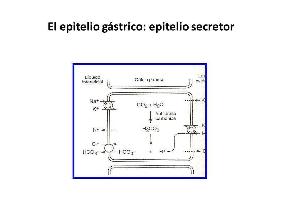 El epitelio gástrico: epitelio secretor