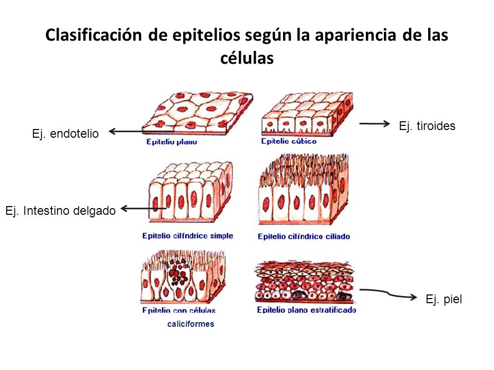 Clasificación de epitelios según la apariencia de las células caliciformes Ej. piel Ej. tiroides Ej. endotelio Ej. Intestino delgado