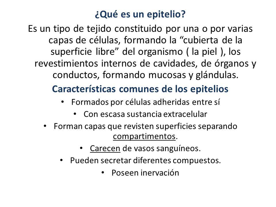 ¿Qué es un epitelio? Es un tipo de tejido constituido por una o por varias capas de células, formando la cubierta de la superficie libre del organismo