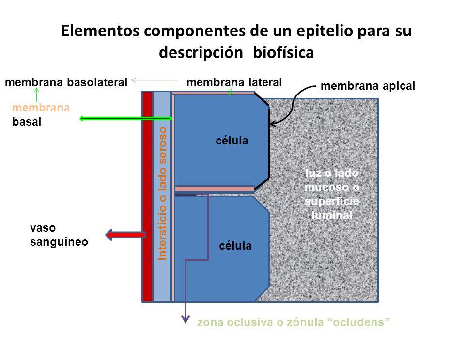 Elementos componentes de un epitelio para su descripción biofísica célula luz o lado mucoso o superficie luminal Intersticio o lado seroso membrana ba