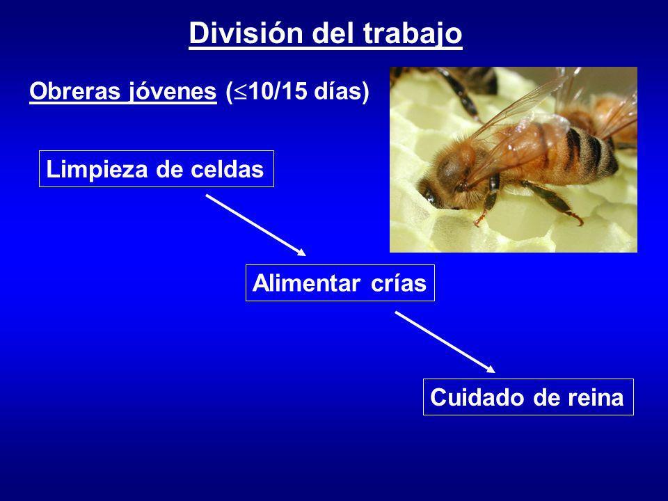 División del trabajo Obreras jóvenes ( 10/15 días) Limpieza de celdas Alimentar crías Cuidado de reina
