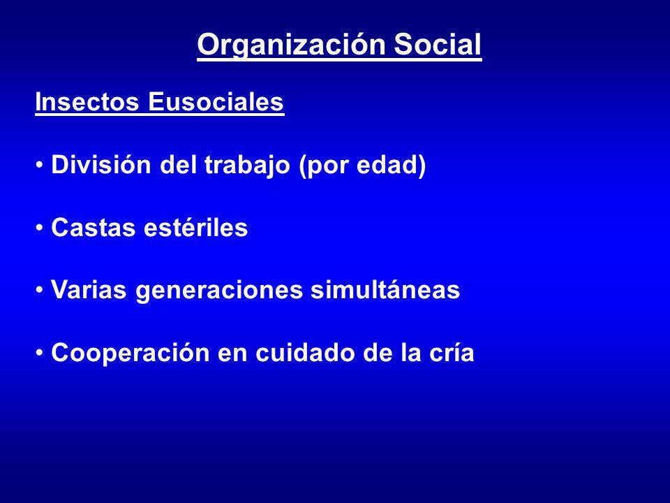 Organización Social Insectos Eusociales División del trabajo (por edad) Castas estériles Varias generaciones simultáneas Cooperación en cuidado de la cría