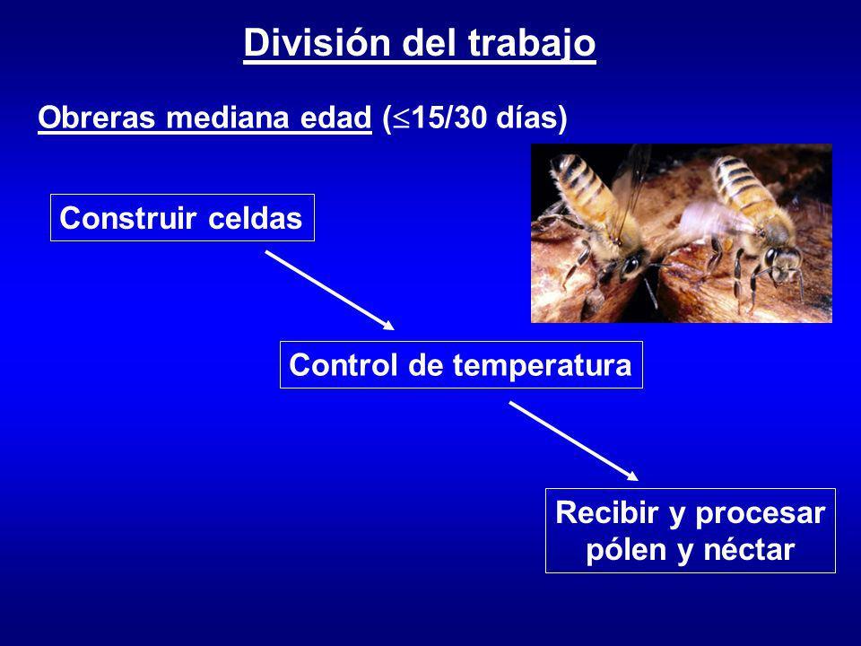 División del trabajo Obreras mediana edad ( 15/30 días) Construir celdas Control de temperatura Recibir y procesar pólen y néctar