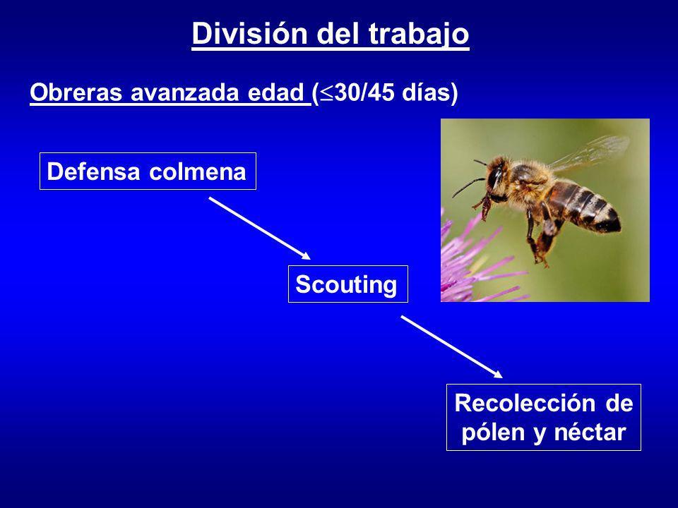 División del trabajo Obreras avanzada edad ( 30/45 días) Defensa colmena Scouting Recolección de pólen y néctar