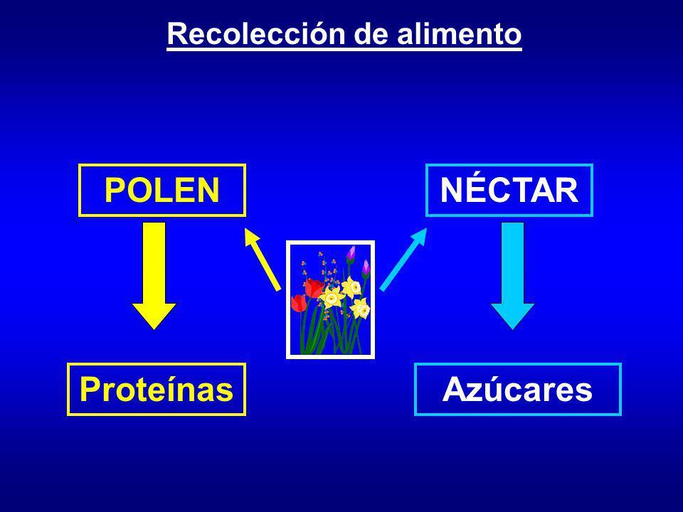 Recolección de alimento POLENNÉCTAR ProteínasAzúcares