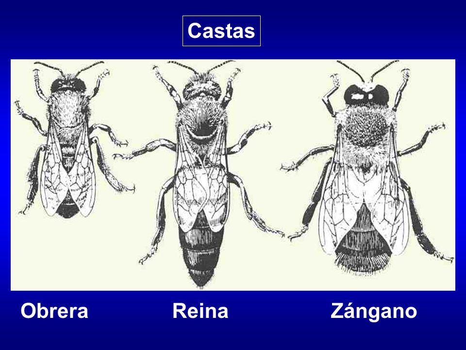 Fertilizan a la reina en el vuelo nupcial Expulsados de la colmena en otoño
